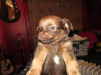 7 week old male ckc registered chihuahua puppys with