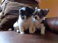 CKC Long haired Chihuahua puppies for sale looking for