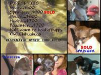 We have four pure bred CKC chihuahua puppies