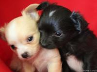 Beautiful longcoat Chihuahua puppies raised in my