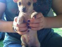 I have one CKC registered Chihuahua puppy left from