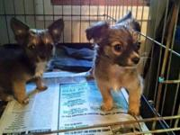 Two absolutely gorgeous male chihuahua puppies for