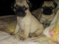 Beautiful fawn male and female available . All shots
