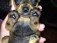 female red ckc registered chiweenie Will take a deposit