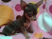 CKC registered chocolate and tan female chihuahua