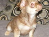 Really little male long hair Chihuahua puppy for sale.