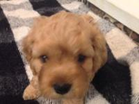 Cockapoo Puppies For Sale In Box Springs Georgia Classified