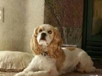 Jagger is a 5 yr. old CKC registered cocker spaniel who
