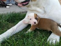 CKC Registered Colorado Bulldog puppies. Wonderful