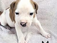 Registered Colorado bulldog puppies for sale, both