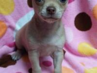 CKC registered cream female chihuahua puppy. This