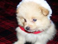 CKC Registered Cream Male Puppy. Born 9/15/2014. Wormed
