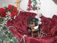 I HAVE FOR SALE THREE LITTLE CKC FEMALE DACHSHUND