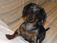 BEAUTIFUL 6 month old black and silver dapple dachshund