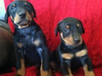 CKC Registered Doberman Pinscher Puppies born