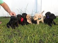 CKC Registered GoldenDoodle puppies. We have Black and