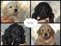 Ckc signed up f1b labradoodle young puppies. Ready July