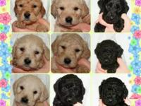 Ckc registered f2b labradoodle puppies. Taking