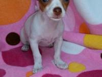 CKC registered white with fawn areas female chihuahua