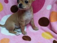 CKC small (TEACUP) fawn female chihuahua puppy. This