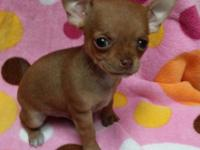 CKC registered fawn male chihuaua puppy. This little