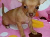CKC registered fawn guy chihuahua puppy. This little