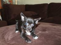 I have a beautiful female Chihuahua. She is black with