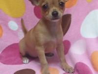 CKC registered fawn female Chihuahua puppy. This little