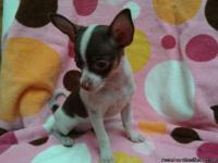 CKC registered white and chocolate female chihuahua