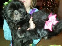 We have some CKC signed up female Shih tzu young