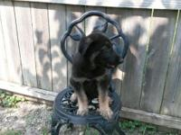 I have a 8weeks old German Shepherd puppy ready for his