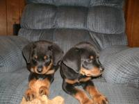 3 months old German Rottweiler puppies, they have had