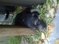 2 registered german shepherd puppies available. 2