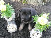 I have 3-males & 2-females German shepherd puppies.