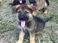 Beautiful Pure Breed CKC registered German Shepherd