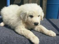 I have three CKC registered Great Pyrenees puppies for