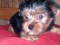 I have Yorkie Puppies for sale! 1 male available. Both