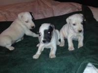 READY***Nice Quality Bred Jack Russell Terrier puppies!