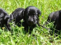 We have 10 beautiful Black Lab Puppies that will be