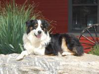 We've got CKC Registered Labrador retriever pups: 3