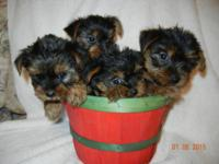 CKC Liter Registered Yorkshire Terrier Pups 2 Males