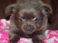 I have two CKC registered longhair Chihuahua puppies.