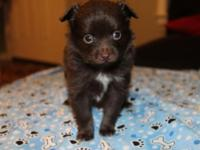 I have CKC signed up male Longhair Chihuahua young