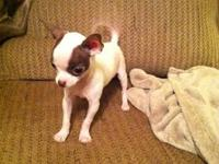 CKC Registered Male Chihuahua, 8 months old, white with
