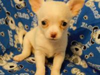 I have 3 CKC registered male Chihuahuas .born 7/1/2015