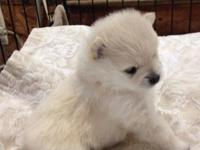 Ckc registered cream/white male Pomeranian Pup.