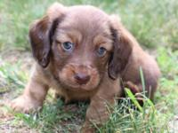 Long haired chocolate and tan Male Miniature Dachshund