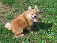 I have a Red male CKC registered Pomeranian that was