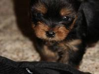 Super cute male CKC registered yorkie puppy, ready to