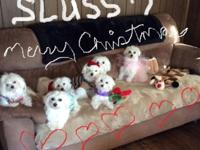 I have 3 Maltese puppies for sale. They were born on